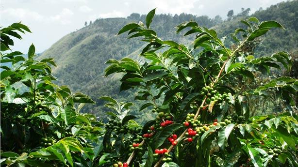 odla kaffe i sverige